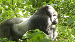 Walking With the Great Apes - Mountain Gorillas